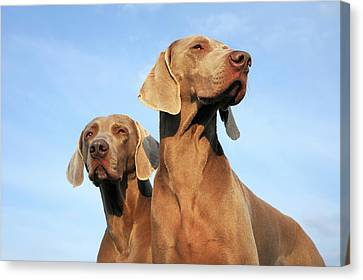 Two Dogs, Weimaraner Canvas Print by Werner Schnell