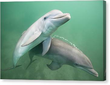 Balance In Life Canvas Print - Two Dolphins Underwater. by Justin Lewis