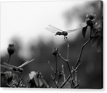 Two Dragonflies Canvas Print by Floyd Smith