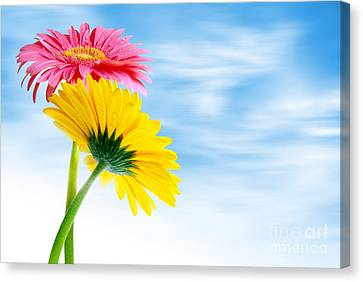 Two Gerberas Canvas Print by Carlos Caetano