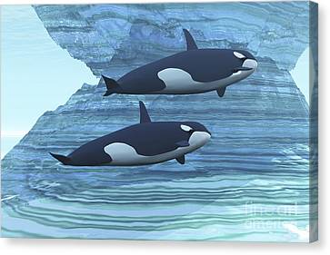 Two Killer Whales Swim Around Submerged Canvas Print by Corey Ford