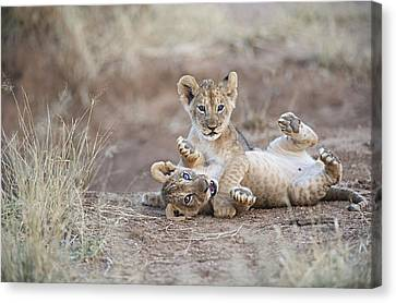 Two Male Lion Cubs Wrestle On The Trail Canvas Print by Mark C. Ross