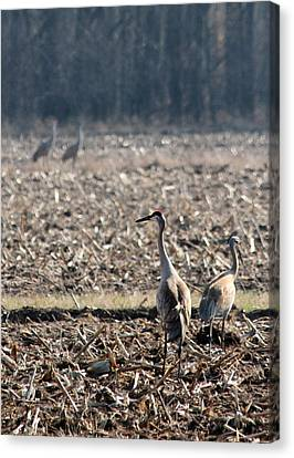 Two Pairs Of Sandhill Cranes Canvas Print by Mark J Seefeldt
