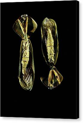 Two Praying Mantises Canvas Print by Volker Steger