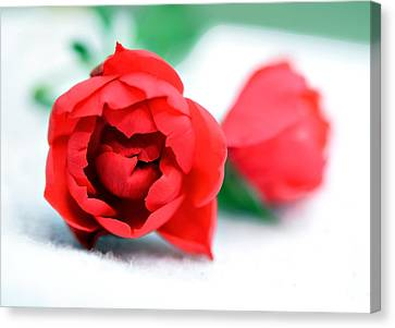 Two Rose Buds Canvas Print by Susan Leggett