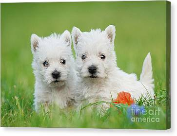Two West Highland White Terrier Puppies Portrait Canvas Print by Waldek Dabrowski