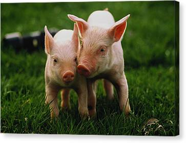 Two Yorkshire Piglets (sus Sp) In Field Canvas Print by Andy Sacks