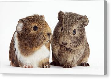 Two Young Guinea Pigs Canvas Print by Mark Taylor