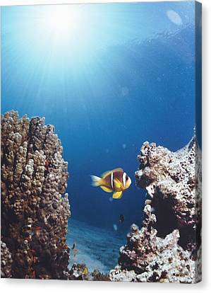 Twoband Anemonefish Canvas Print by Peter Scoones
