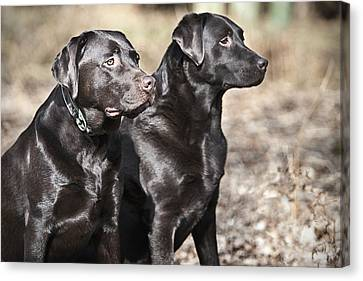 Uk, England, Suffolk, Thetford Forest, Black Labrador Pair With Shiny Coat Canvas Print