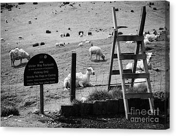 Ulster Way Footpath Wooden Stile And Flock Of Part Shorn Sheep In Fields In County Antrim Ireland Canvas Print by Joe Fox