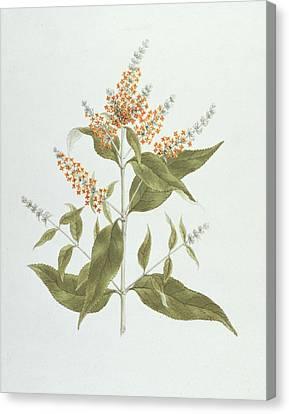 Umtar - Buddleia Polystachya Canvas Print by James Bruce