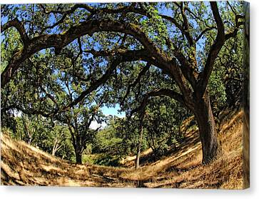Under The Oak Canopy Canvas Print by Donna Blackhall