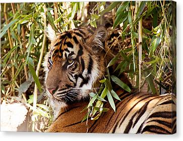 The Tiger Hunt Canvas Print - Under The Watchful Eye Of The Tiger by Lindy Spencer