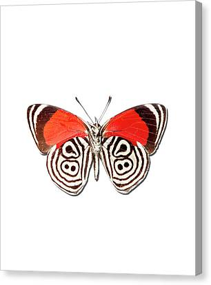 Underside Of The Meadow Wanderers Butterfly Canvas Print by MajchrzakMorel