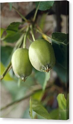 Unripe Royal Gala Apples Growing Canvas Print by Jason Edwards