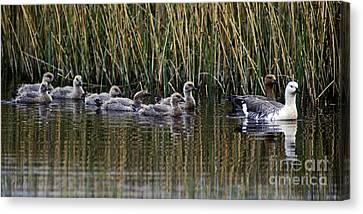 Canvas Print featuring the photograph Upland Geese - Patagonia by Craig Lovell