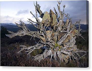 Uprooted Scot's Pine Tree Canvas Print by Duncan Shaw