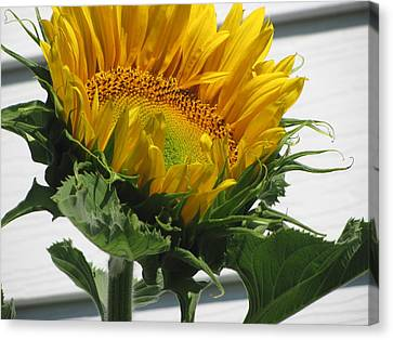 Upward Sunflower Canvas Print by Amy Bradley