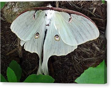 Va Moth Canvas Print by Louise Mingua