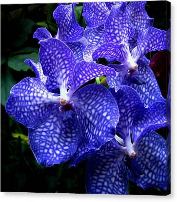 Vanda Orchids Canvas Print by Shirley Sirois