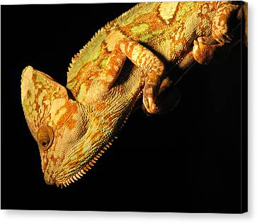 Veiled Chameleon Canvas Print by Samuel Sheats