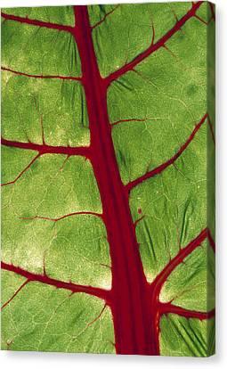 Veins In Chard Leaf Canvas Print by David Nunuk