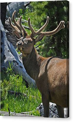 Velvet Prince Canvas Print by Jonathan Whichard