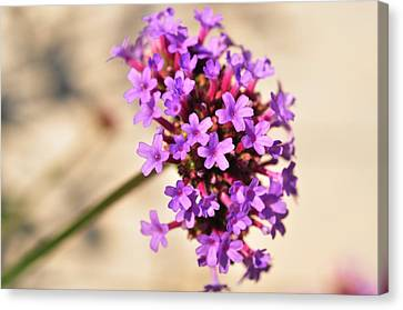 Canvas Print featuring the photograph Verbena  by Puzzles Shum