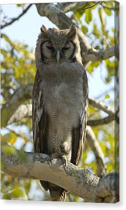 Verreauxs Eagle Owl, Bubo Lacteus, Or Canvas Print by Paul Sutherland