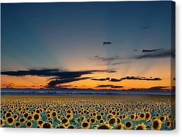Vibrant Sunflower Field In Colorado Canvas Print by Victoria Chen