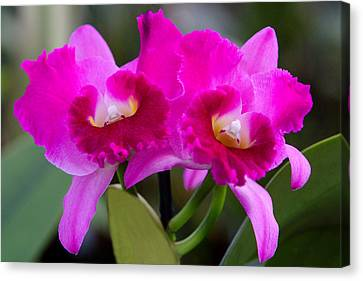 Vibrant Violet Orchids Canvas Print by Linda Phelps