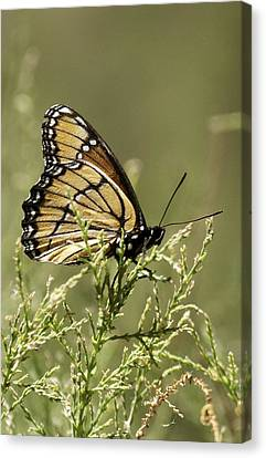 Canvas Print featuring the photograph Viceroy Butterfly by Betty Depee