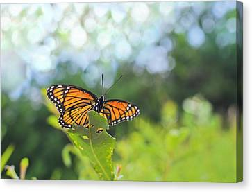 Viceroy Butterfly Limenitis Archippus  Canvas Print