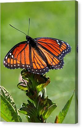 Viceroy Butterfly Number Two Canvas Print by Paula Tohline Calhoun