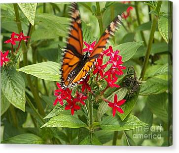Butterfly In Motion Canvas Print - Viceroy Butterfly On Pentas by Theresa Willingham