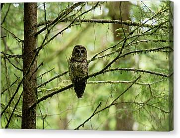View Of A Northern Spotted Owl Canvas Print by James P. Blair