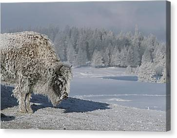 View Of An Ice-encrusted American Bison Canvas Print by Tom Murphy