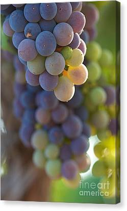 Vine Ripe One Canvas Print by Brooke Roby