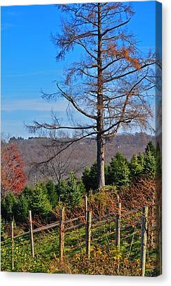Vineyard In Fall Canvas Print by Peter  McIntosh