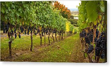 Pinot Noir Canvas Print - Vineyard by Jean Noren