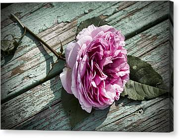 Vintage Pink English Rose And Peeling Paint Canvas Print