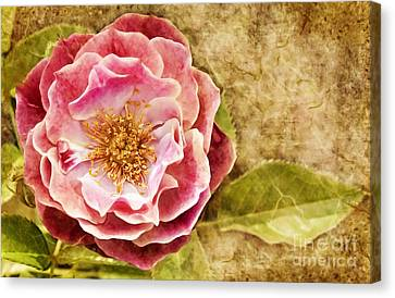 Canvas Print featuring the photograph Vintage Rose by Cheryl Davis