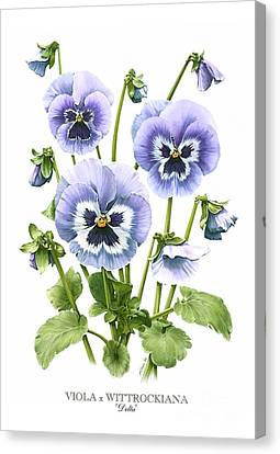 Viola Pansies Canvas Print