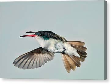 Canvas Print featuring the photograph Violet Crowned Hummingbird In Level Flight by Gregory Scott