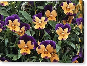 Violets Canvas Print by Archie Young