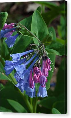 Canvas Print featuring the photograph Virginia Bluebells by Daniel Reed