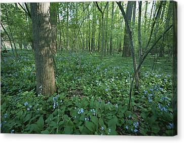 Virginia Bluebells Canvas Print by Taylor S. Kennedy