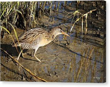 Virginia Rail Out In The Open Canvas Print