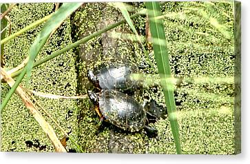 Canvas Print featuring the photograph Virginia Swamp Turtles by Rob Green